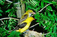 Pirol, Männchen und Weibchen füttern Küken im Nest, Paar, Pärchen, Oriolus oriolus, golden oriole, Eurasian golden oriole, male, female, pair, Le Loriot d'Europe