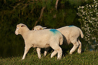 Coopworth lambs in spring on the banks of the Thames, near Oxford, UK.