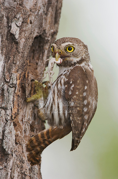 Ferruginous Pygmy-Owl, Glaucidium brasilianum, adult at nesting cavity with lizard prey, Willacy County, Rio Grande Valley, Texas, USA, June 2006