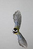Kohlmeise, Flug, Flugbild, fliegend, mit Vogelfutter im Schnabel, Kohl-Meise, Meise, Meisen, Parus major, Great tit, flight, flying, La Mésange charbonnière