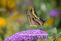 03017-01212 Giant Swallowtail butterfly (Papilio cresphontes) on Butterfly Bush (Buddlei davidii),  Marion Co., IL