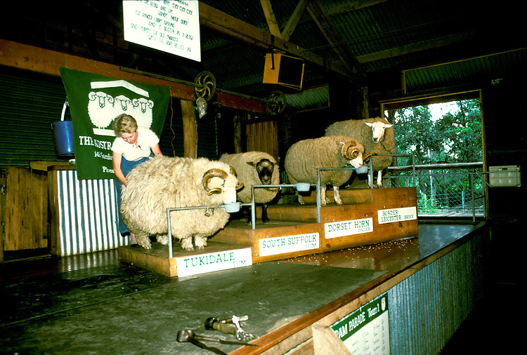 Australia, Sheep Shearing and different sheep breeds, Photo: ausmel104.Photo copyright Lee Foster, 510/549-2202, lee@fostertravel.com, www.fostertravel.com