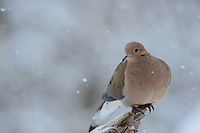A Mourning Dove in winter snow.