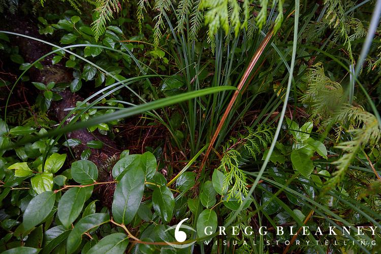 Bear Grass.  Olympic Peninsula, WA State