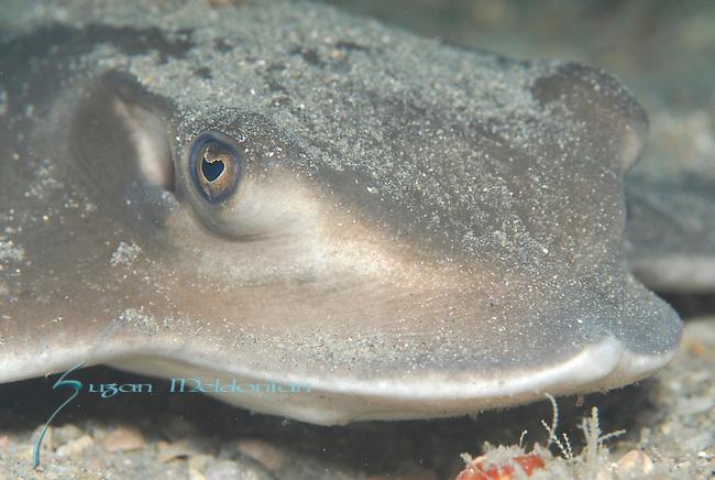 Bullnose ray, Myliobatis freminvillei