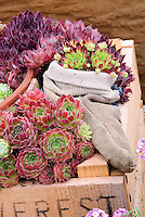 Mixed sempervivum planted in crate box container pot and sold slipper shoe for a funny unusual container garden