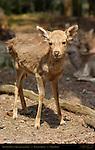 Sika Deer Fawn Shika Japanese Deer Spotted Deer Kasuga Shrine Nara Japan