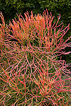 EUPHORBIA TIRUCALLI, PENCILBUSH OR PENCIL TREE, LEAFLESS SUCCULENT