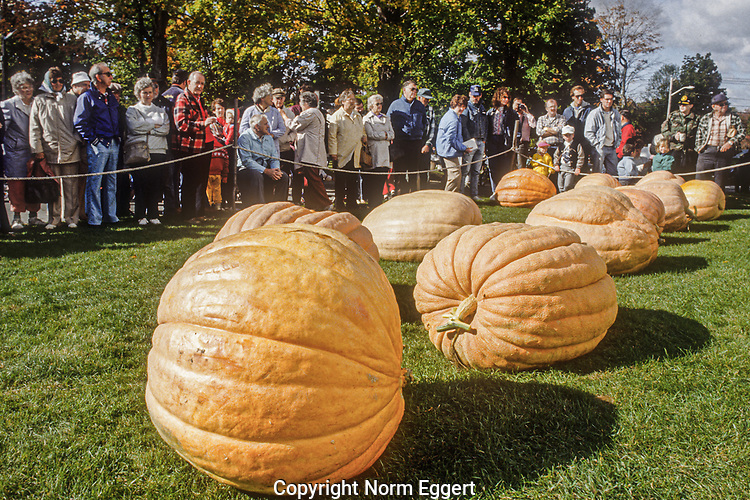Several large pumpkins that will be entered into the large pumpkin contest at the Phillipston Fall Fair.