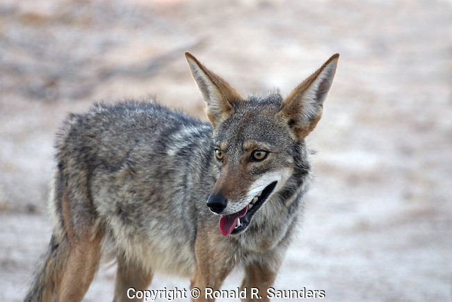 The coyote,canis latrans, also known as the American jackal or the prairie wolf is a species of canine found throughout North and Central America, ranging from Panama in the south, north through Mexico, the United States and Canada. It occurs as far north as Alaska and all but the northernmost portions of Canada.