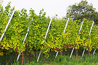 gewurztraminer vineyard domaine gerard neumeyer alsace france