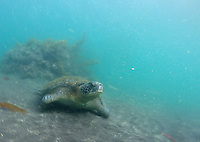 Galapagos green sea turtles were a common sight.  We got a chance to swim with them as well.