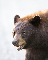 Cinnamon Black Bear, Grand Teton National Park