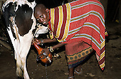 Lolgorian, Kenya. Maasai woman milking a cow into a traditional gourd decortated with cowrie shells.