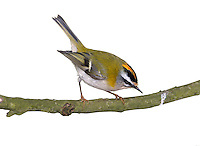 Firecrest - Regulus ignicapillus L 9-10cm. Only marginally larger than Goldcrest. Sexes are dissimilar. Adult has yellow-green upperparts with 2 pale wingbars. Underparts are buffish white but flushed golden-yellow on sides of neck. Has dark eyestripe, broad white supercilium and black-bordered crown stripe (orange in male, yellow in female). Juvenile is similar but crown stripe is absent. Voice Utters a thin tsuu-tsee-tsee call. Song is a series of thin, high-pitched notes. Status Rare breeding bird, in summer months often found in mixed woodland with mature conifers and understorey of Holly. Migrants and wintering birds are found mainly in coastal woodland.