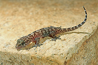 Europäischer Halbfinger, Gecko, Halbfinger-Gecko, Türkischer Halbfingergecko, Hausgecko, Hemidactylus turcicus, Turkish gecko, Mediterranean gecko, Mediterranean House Gecko, common house gecko, Gecko nocturne, Hémidactyle verruqueux