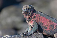 Uniquely colored red and green marine iguanas, Punto Suarez, Espanola Island, Galapagos Islands, Ecuador.