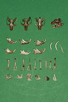Untersuchung von einem Gewölle einer Eule, Schleiereule, Speiballen, die unverdauten Knochen als Nahrungsreste wurden aus einem Geölle heraus sortiert, Schleiereule hat eine Maus gefressen, verschiedene Knochen und Schädel als unverdauliche Nahrungsreste