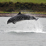 Fungie The Dingle Dolphin shows he is not slowing down and is as energetic as ever as he  celebrates 30 years in Dingle Harbour this weekend..Picture by Don MacMonagle- macmonagle.com
