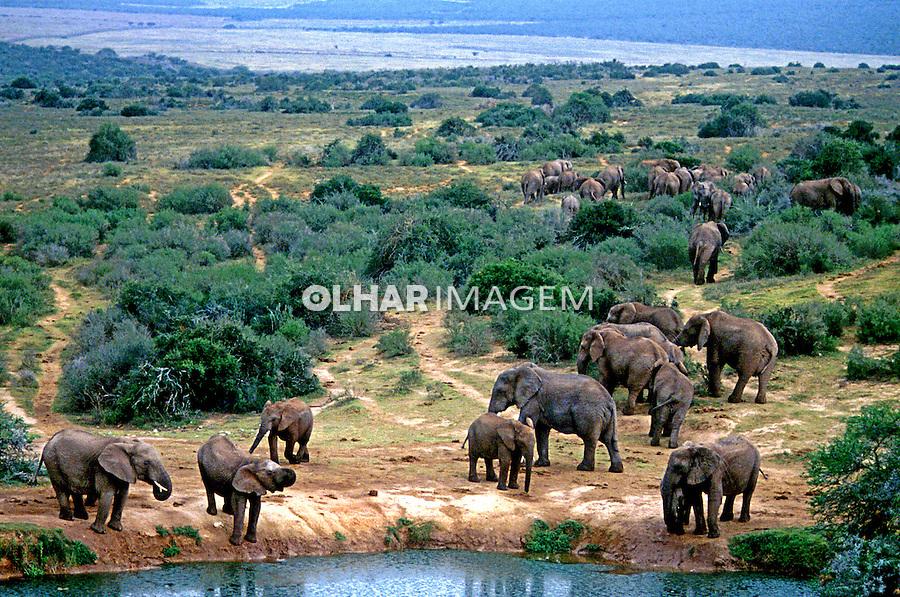 Animais. Mamiferos. Elefantes africanos (Loxodonta africana). Addo Park, África do Sul. Foto de Ricardo Azoury.
