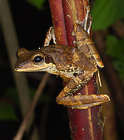 A dark-eared tree frog photographed during a night walk in Borneo.