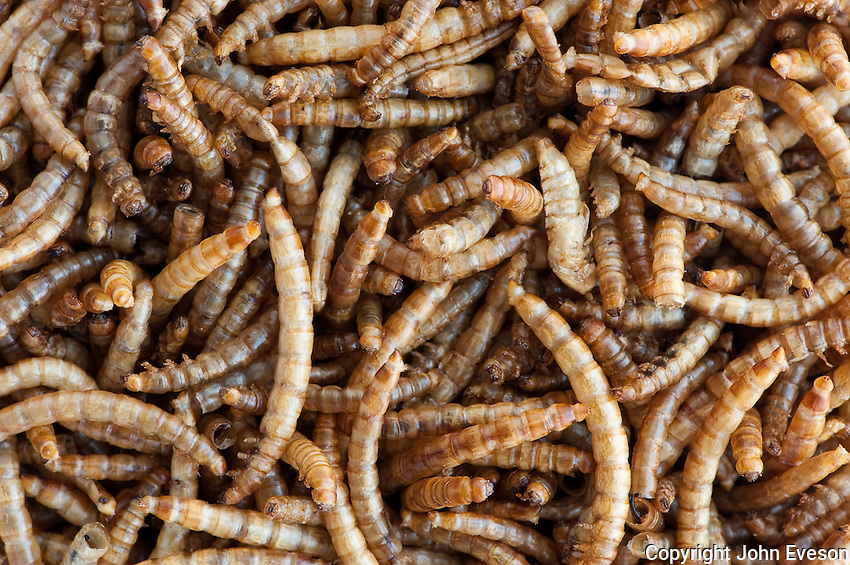 Mealworms dried for use as wild bird food.