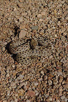Gopher Snake seen on the desert floor on a spring day in southern, Arizona.