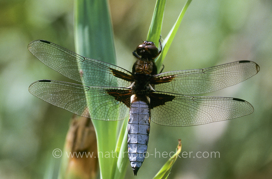 Plattbauch, Männchen, Plattbauch-Libelle, Plattbauchlibelle, Libellula depressa, Broad-bodied Chaser, Broadbodied Chaser, broad bodied chaser