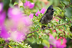 Rakiraki, Viti Levu, Fiji; a Red-vented Bulbul (Pycnonotus cafer) bird sitting on a Bougainvillea branch