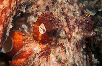 Giant Pacific Octopus camouflages itself.<br /> Cephalopoda