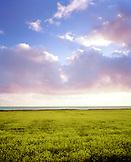 USA, California, Davenport, mustard field against cloudy sky, Hwy 1