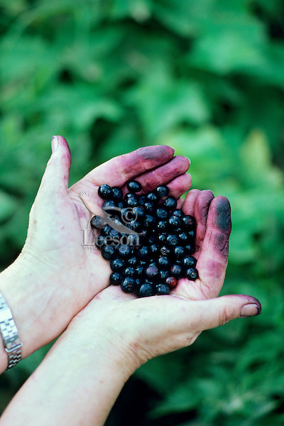 Handfull of Huckleberries (Vaccinium membranaceum)