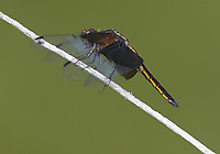 Widow Skimmer (Libellula luctuosa) Dragonfly - Juvenile Male, Ward Pound Ridge Reservation, Cross River, Westchester County, New York