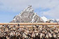 Cod stockfish heads hanging on wooden drying racks with mountain peak in background, Lofoten islands, Norway