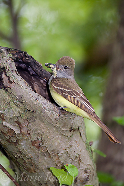 Great Crested Flycatcher (Myiarchus crinitus), bringing caterpillar to its nest hole, New York, USA