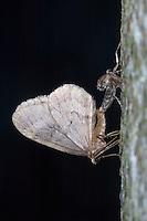Kleiner Frostspanner, Paarung, Kopulation, flugfähiges Männchen und flügelloses Weibchen, Operophtera brumata, winter moth, pairing, copulation, La Phalène brumeuse, Arpenteuse tardive, Spanner, Geometridae, looper, loopers, geometer moths, geometer moth