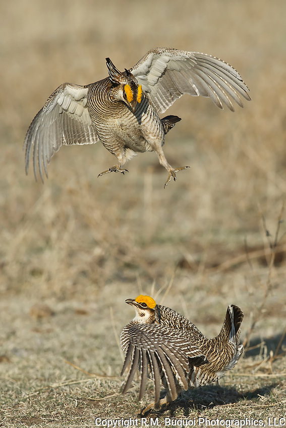 Fighting Lesser Prairie-Chickens