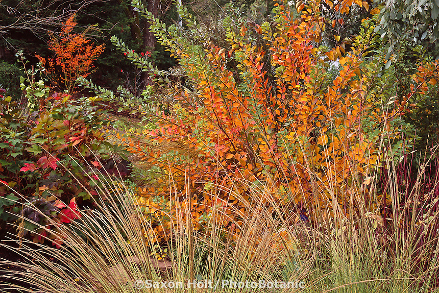 Cotinus coggyria 'Pink Champagne' (Smoke Tree) shrub in California autumn garden with California native grass Muhlenbergia rigens.