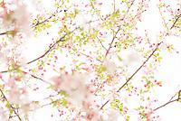 20170404_PLA_CherryBlossoms