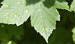 Blotched patches on sycamore tree leaf caused by erineum galls - the work of Eriophyes mites, Suffolk, UK