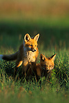 Fox kits in the setting sun