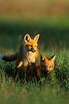 Fox kits in the setting sun