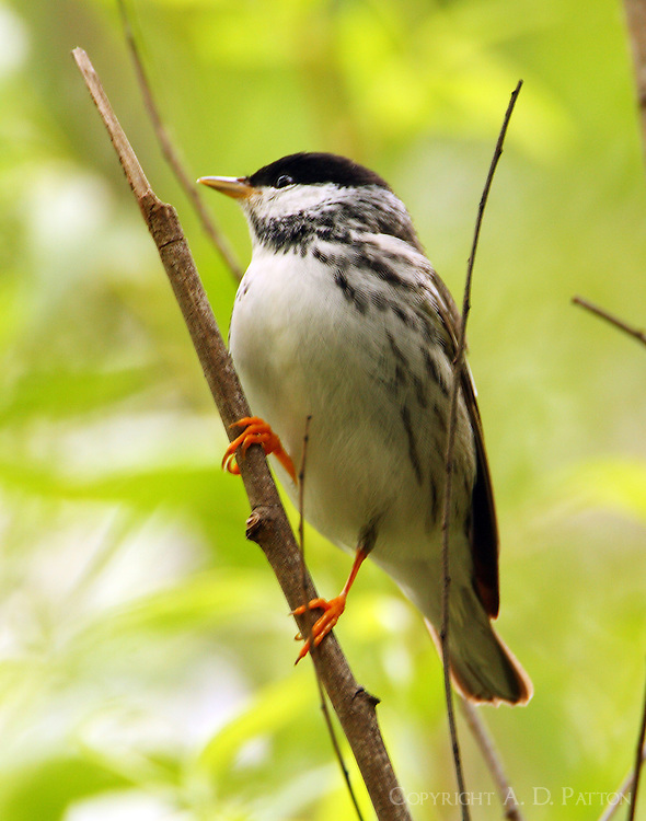 Adult male blackpoll warbler at Paradise Pond in April