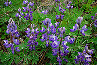 Arctic Lupine can be found on the hillsides along the Kongakut River, in Alaska's Arctic National Wildlife Refuge.