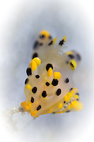 Pikachu Nudibranch (Tecacera sp.) on Hydroid in Lembeh Strait