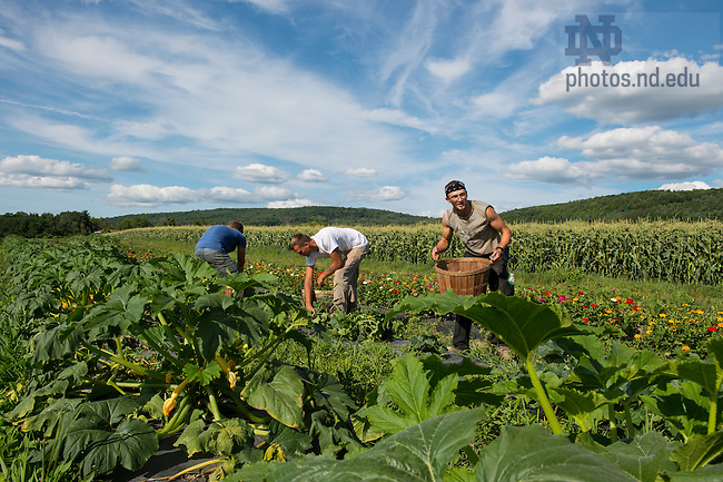 Aug. 7, 2015; (names left-right) Zerek Smith, Justin Witt and Kyle Page pick vegetables at Schoharie Valley Farms in Schoharie, New York.  (Photo by Barbara Johnston/University of Notre Dame)
