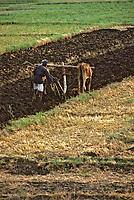 Afrique/Egypte/Env de Louxor/Ancienne Thèbes: Travaux des champs au bord du Nil - charrue à boeuf