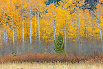 Aspens in autumn, Grand Teton National Park, Wyoming