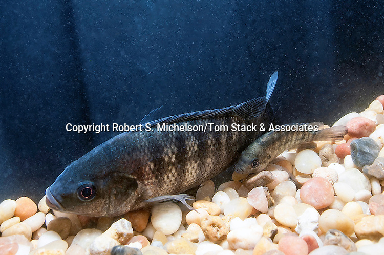 Juvenile Blue Tilapia in Hydroponic/Aquaculture tank with large gravel bottom, Rehoboth, Massachusetts