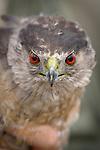 hawkwatch hawk and raptor migration research
